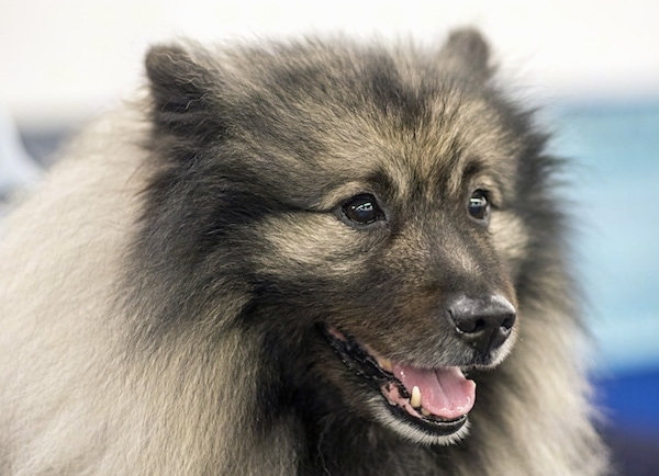 Close-up head shot - a fluffy gray and black dog with long thick fur and black almond-shaped eyes with a black nose facing slightly to the right with its mouth parted looking happy. The dog has small perk ears that are covered in hair.