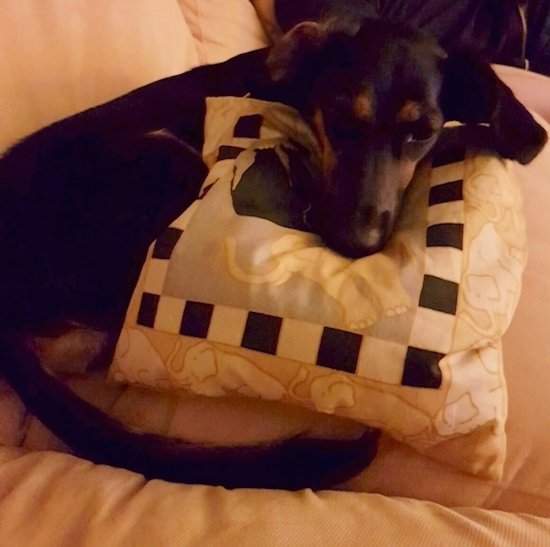 A black and tan dog laying on a white couch on top of a white, black and gray pillow that has elephents on it. The dog has a long pointy snout, dark eyes and a black nose. One of its ears is flipped inside out and the other is hanging down to the side of its head.