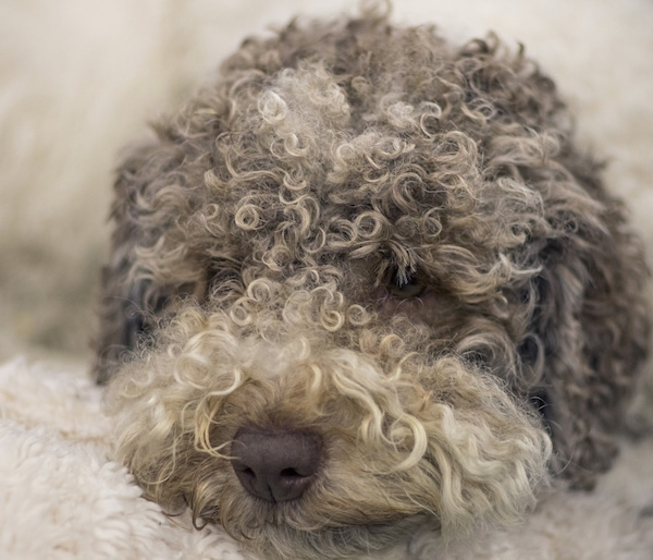Close up head shot - a tan, brown and white curly coated dog with a brown nose and dark eyes that have hair coming down into them.