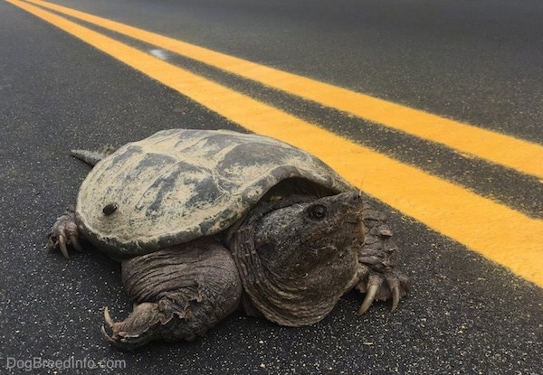 Close up - A large snapping turtle with its head out and large claws showing on its feet in the middle of a highway next to a double yellow painted line.