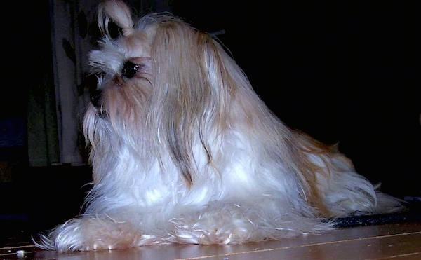 A small dog with very long flowing white hair laying down on the floor with a band in her top knot holding the hair out of her eyes