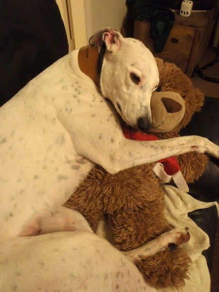 A tall lanky dog with a long muzzle and black nose sleeping on top of a large brown teddy bear on top of a couch. It is white with black ticking with long rose ears that are pinned back. It is wearing a very wide brown leather collar. Its dark eyes are almond shaped.
