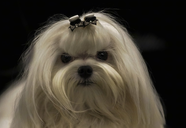 Close up head shot - A long haired white dog with large round black eyes and a black nose. Its hair is pulled up in a bow in a top knot.