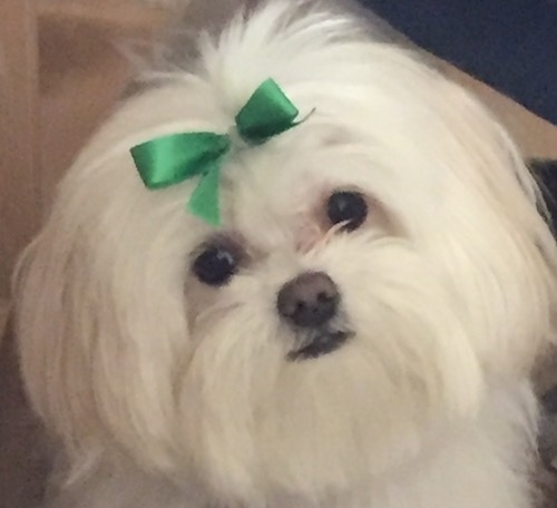 Close up head shot of a small white fluffy long haired dog with a black nose, dark round eyes, black lips and a green ribbon clipped to its forehead.