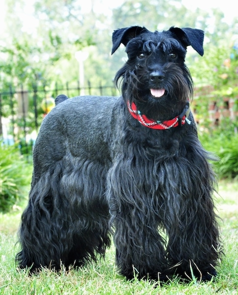 Miniature Schnauzer Dog Breed Pictures 3