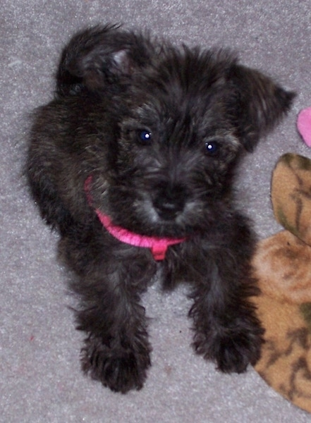 A fluffy little dark brown brindle puppy laying down on a tan carpet wearing a hot pink harness. It has a dark nose and dark round eyes. Its one ear is flopped over and the other ear is up and out to the side. There are dog toys next to it.