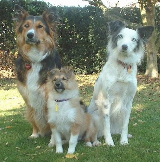 Three dogs sitting in grass looking forward. The first dog is a Collie German Shepherd mix and has a long coat with perk ears the dog in the middle is a Shetland Sheepdog puppy with a big thick coat and the dog on the far right is a white with gray and black border collie with blue eyes.