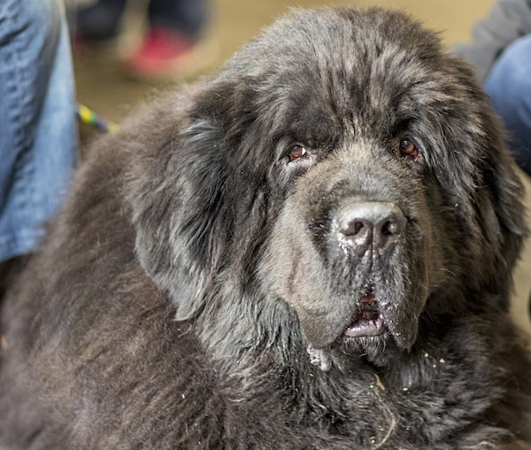 A massive, huge, thick, furry, black dog with a big head and a very large body looking forward. The dog has small brown eyes and fluffy drop ears, long lips with big dewlaps and a big black nose. It looks like a bear.