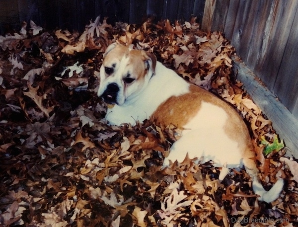 A white with tan Bulldog type dog laying down in a pile of brown fallen leaves looking back towards the camera. The dog has a large underbite, rose ears and a long tail.