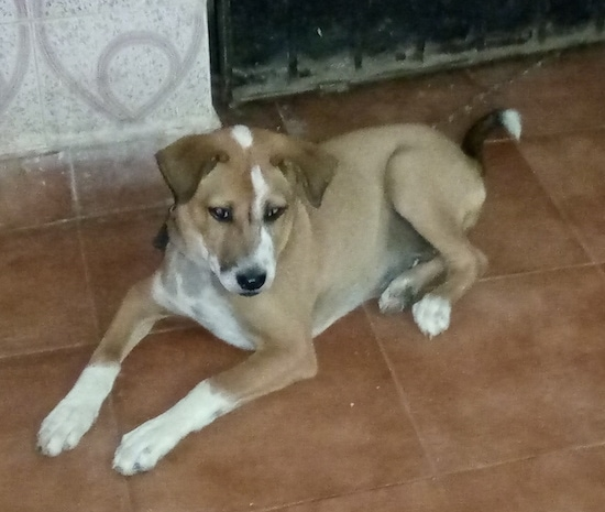Front side view - A tan with white dog that has a black nose, black lips and dark eyes with small fold-over v-shaped ears laying down on a tiled floor. The dog is mostly tan with white on its paw tips, the front of its muzzle, the top of its head and its chest.
