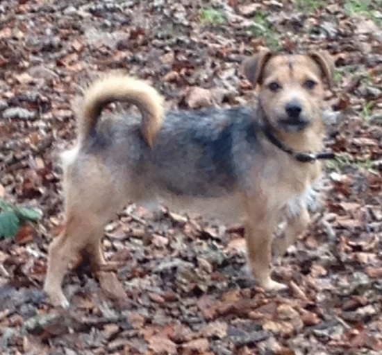 Side View - A scruffy looking tan black saddle patterned dog standing in brown fallen leaves with its tail curled up over its back and its ears folded over to the sides. It has a little bit of white on its chest.