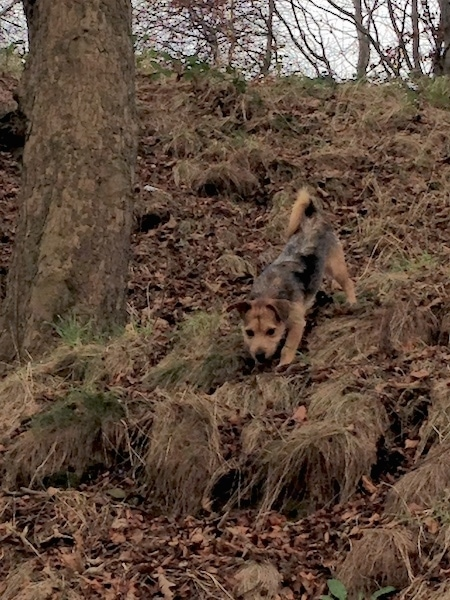 Front View - A wiry looking tan black saddle patterned dog walking down a steep hill next to a tree. Its tail is curled up over its back.