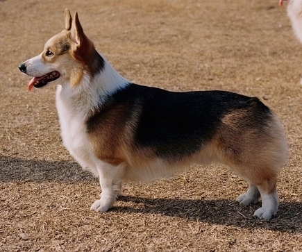 Front side view - A happy-looking, tan with black and white Pembroke Corgi dog is sitting on dirt and wood chips looking up and towards the camera. Its mouth is open and tongue is out.