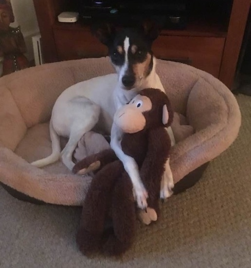 A small dog with long legs laying down in a tan dog bed with a monkey toy between its front paws. The dog has a white body and a black and tan with white face, a long snout and a long white tail.