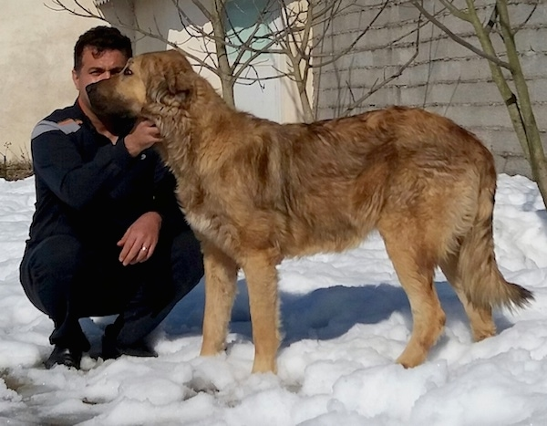 A huge tall dog with a thick tan with black coat, a long tail, black snout, dark eyes and ears that hang down to the sides standing in snow with a man kneeling down beside him.