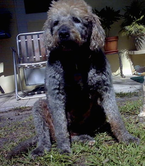 Front view of a large breed curly coated dog with long soft wavy ears a gray and tan coat sitting down in grass. It has a dark nose and dark eyes. There is a aluminum and wood fold up chair behind it on a porch.