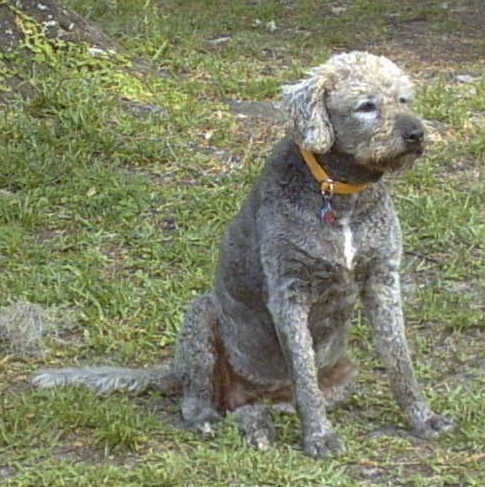 Front side view of a large breed wavy coated dog with a shaved gray coat. It has a little bit of white on its chest and brown squinted eyes. It has longer hair on the top of her head and a long tail.