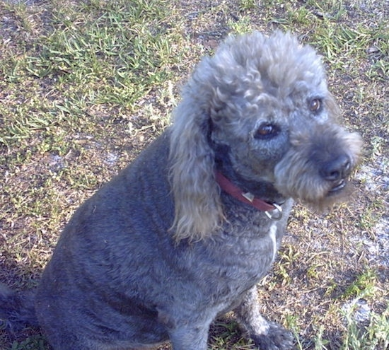 A large curly coated gray and tan dog with a shaved coat sitting down in grass looking up. The dog has brown almond shaped eyes a black nose and a red collar.
