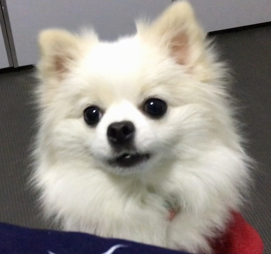 Front view head shot of a thick coated fluffy white toy dog with perk ears wearing a red shirt sitting on a floor looking up at the camera. The dog  has large round dark eyes, black nose and black lips. The dog's head is tilted to the left.