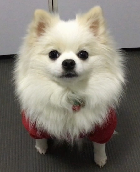 Front view of a thick coated fluffy white toy dog with perk ears wearing a red shirt sitting on a floor looking up at the camera. The dog  has large round dark eyes, black nose and black lips.