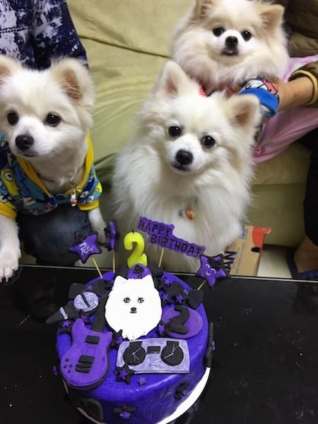 Three toy sized, small fluffy little white dogs with small perk ears, black eyes and black noses sitting in front of a purple birhtday cake that has a picture of a white dog and a guitar and the number two on it along with other decorations on it.