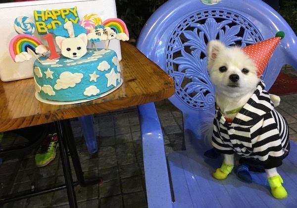 A little white dog wearing a black and white striped shirt and a red birthday hat sitting on a purple plastic chair next to a table that has a round light blue birthday cake with white clouds and stars on it. There are rainbows, lollipops, a white dog head, the number one and a Happy Birthday decoration on top of the cake. The dog has neon yellow shoes on.