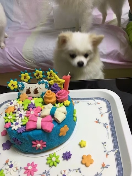 A little thick coated white toy sized dog with perk ears, a black nose and black eyes sitting down in front of a table that has a blue cake with colorful flower and bone decorations all over it.