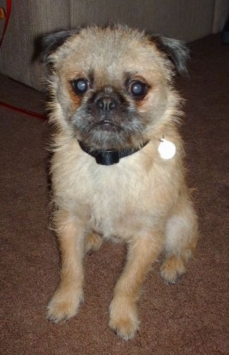 Pug Zu Dog Breed Information And Pictures