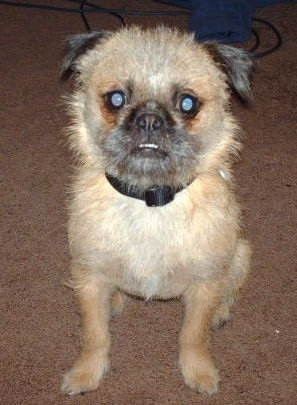 Front view - A round headed, scruffy looking with a wiry look dog with a pushed back face with tan on its body and black on its ears and snout sitting on a brown carpeted floor. The dog has wide round eyes and its bottom teeth are showing due to an underbite.