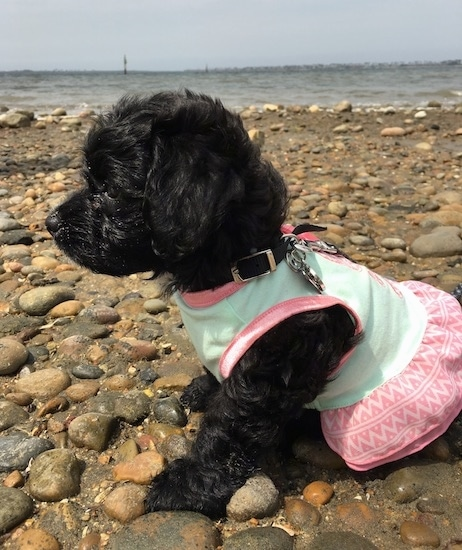 Side view - A tiny wavy coated shiny black puppy dog wearing a pink and light green shirt sitting down on a stoney beach with a large body of water next to it.