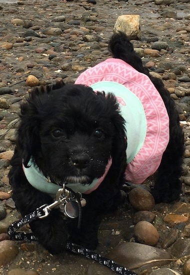 Front view - A tiny wavy coated shiny black puppy dog wearing a pink and light green shirt walking on a stoney wet beach. The puppy has wide round black eyes, a black nose and a little bit of white on its chin.