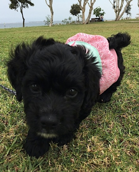 Front view - A tiny wavy coated shiny black puppy dog wearing a pink and light green shirt walking on grass with trees and a large body of water in the distance behind it. The pup's tail is curled up over its back.