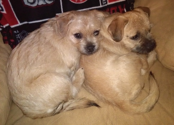 Two small breed wiry looking, tan with black dogs with small fold over ears laying down curled up on a tan chair.