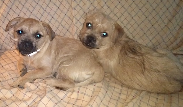 Two small breed wiry looking, tan with black dogs with small fold over ears laying down on a tan couch. They both have black noses with black on their snouts.
