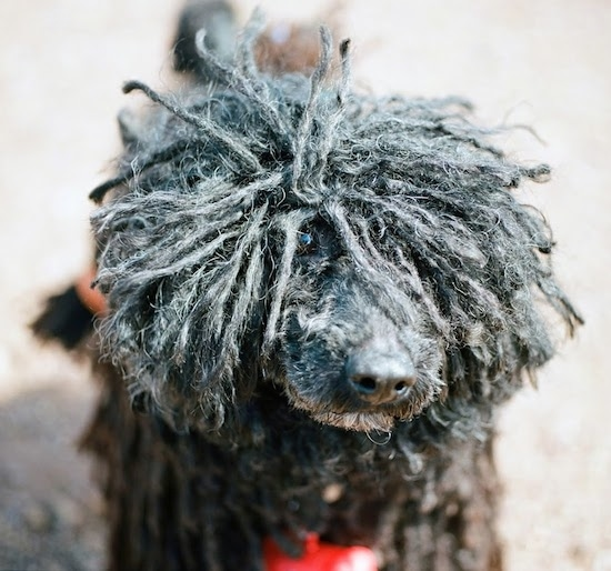 Close up front view - A black Puli with dreadlocks is standing outside in the sun. One of its eyes is showing under its long hair and the other eye is covered in cords. The dog has a black nose.