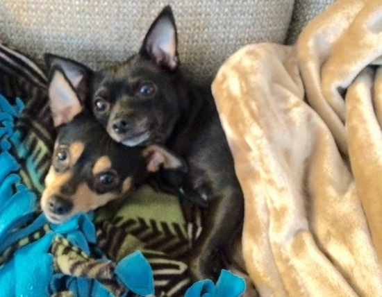 Two small breed dogs with large perk ears that stand up in the air laying down on a couch with blankets over them. The black dog is laying on top of the black and tan dog. Both dogs have wide round eyes and black noses.
