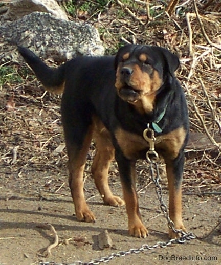 A thick, large breed black and tan dog with a long tail, squinty eyes and a wide muzzle on a large chain outside barking. The dog's nose is black and its black ears hang down to the sides.