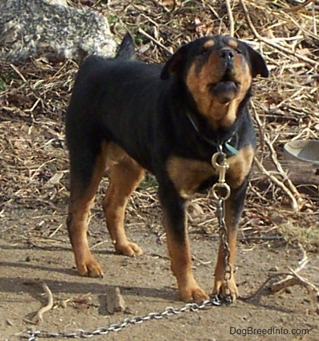 A heavy, thick large breed black and tan dog with a black nose and symmetrical coloring outside on a thick medal chain barking in dirt.