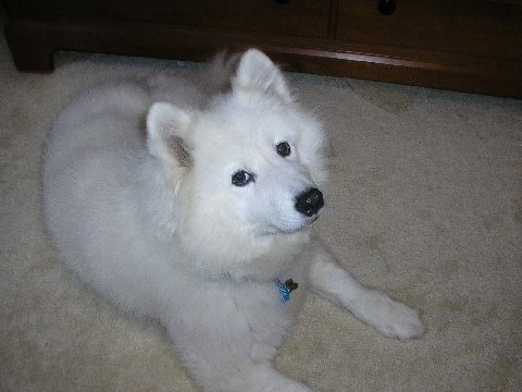 Front side view of a thick-coated, fluffy perk eared white dog with a black nose, black lips and dark eyes laying down on a tan carpet.