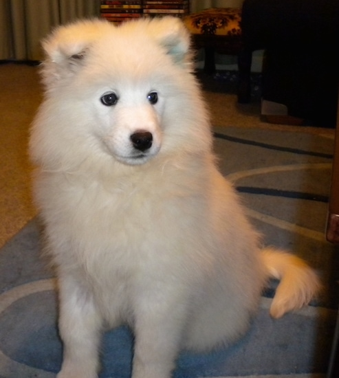 A very fluffy white soft, thick-coated dog with small triangular ears that fold down to the front with large black round eyes, a black nose and black lips sitting down on a carpet looking slightly to the right with its long tail curled to the right side of it.