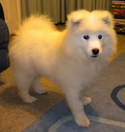 Side view of a very fluffy soft looking puppy with small triangular ears folded down to the front, black eyes, a black nose and black lips with its fluffy tail curled up over its back standing on a carpet inside of a room.