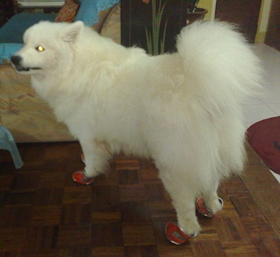 Back side view of a thick coated white long-haired dog with a thick tail that curles up over its back standing facing the left with perk ears that are pinned back in front of a tan recliner chair. The dog has on red leather shoes.
