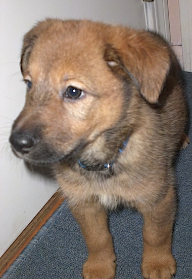 Front view - A little puppy with brown eyes, a black nose small fold over ears and a tan with black coat standing on a blue carpet with its head turned towards the left.