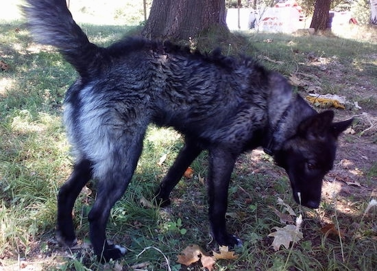 Side view - A black with gray and white dog with a long snout and perk ears standing under the shade of a tree looking down at the ground.