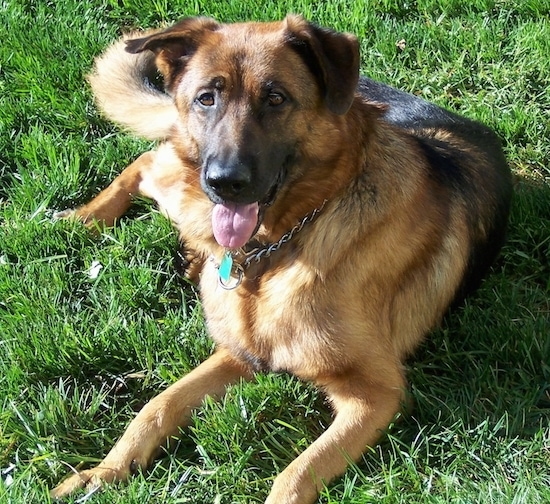 List of German Shepherd Mix Breed Dogs