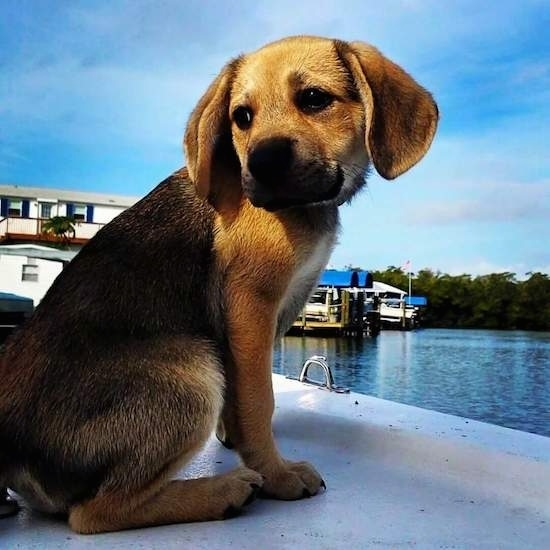 A small puppy sitting on a boat dock looking back behind itself in front of a body of water with other boats docked in the distance. The dog has a black and tan saddle coat pattern, dark almond shaped eyes, a black nose and wide ears that hang down to its sides.
