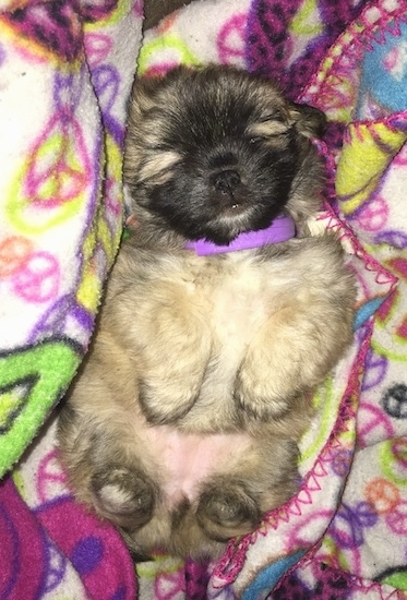 A fluffy, tiny little tan, cream and black puppy sleeping belly-up in her back on top of a colorful blanket that has peace signs all over it. The pup has a purple collar on.
