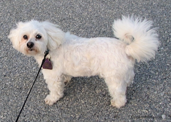 The left side of a thick wavy coated, white Zuchon dog standing across a street. It has a thick long tail that curls up over its back.