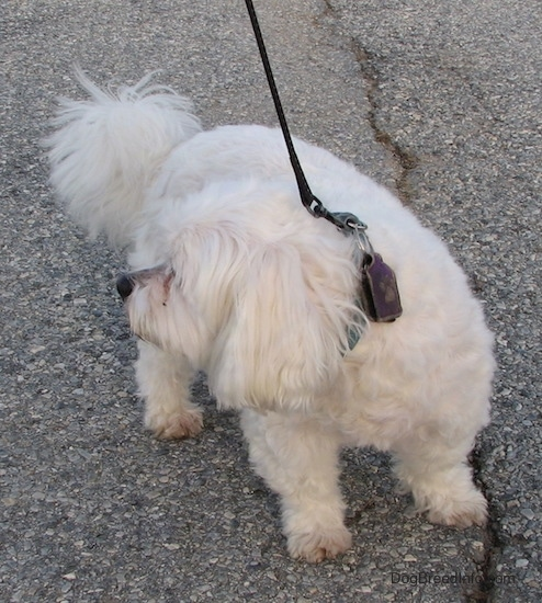 A short legged, low to the ground, long bodied, white Zuchon is standing in the street and it is looking to the left.