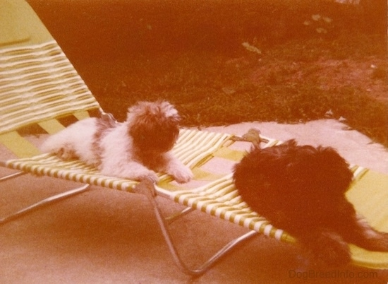 Two fluffy, thick-coated puppies with fuzzy ears that hang down to the sides, black noses and found heads laying down on a green and white lawn chair outside on a cement patio. One dog is white with brown and the other dog is brown with black.